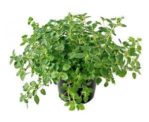 Fogyás gyógynövényekkel