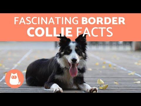border collie fogyás olly turmix fogyás vélemények