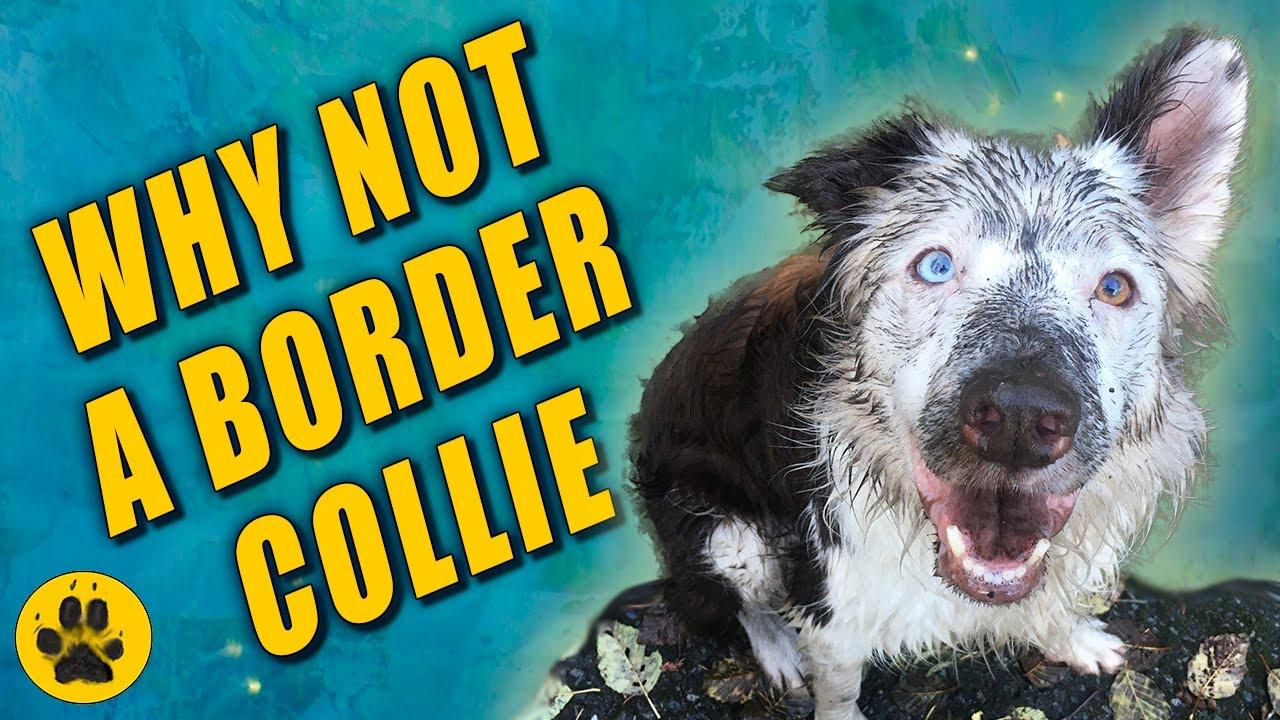 A border collie- nak el kell fogynia - Mentik, ami menthető – avagy mire jó a fajtamentés?