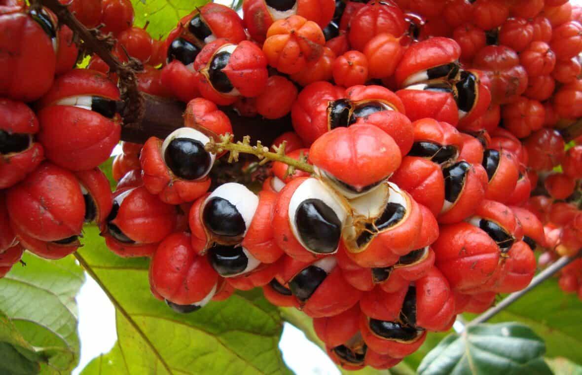 guarana fogyás előnyei jst jodie fogyás csomag
