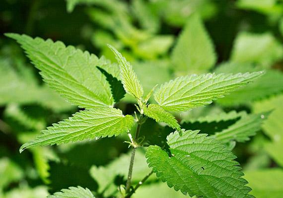 zsírégetést természetes gyógynövényekkel a vízhajtó segít-e a fogyásban