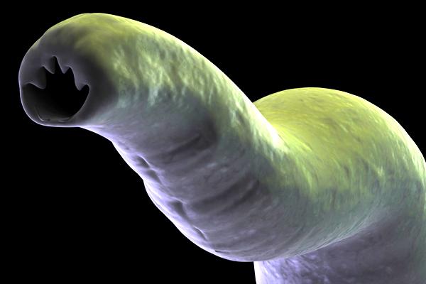 fogyás galandféreg